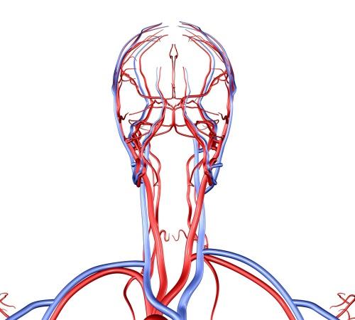 анатомия сосудистой системы головы