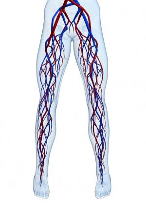 анатомия сосудов нижних конечностей